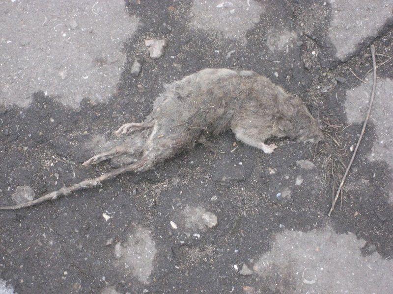 Лихорадка укуса крысы