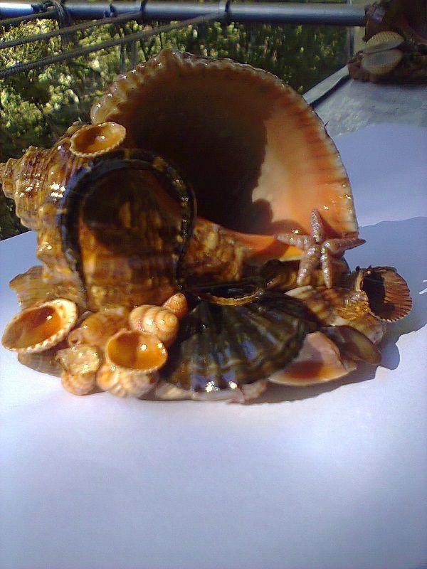 Поделки из раковин рапана своими руками
