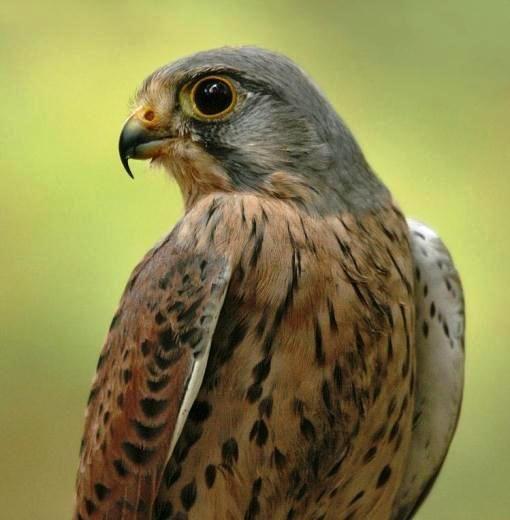 Картинки по запросу сокол в киеве птица