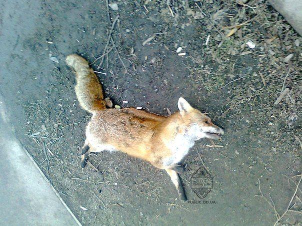 Мертвая лиса: бешенство или убийство?