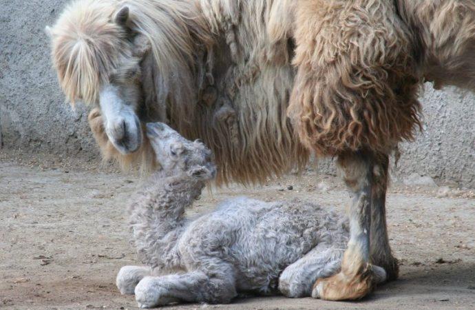 Очаровательный детеныш родился в одесском зоопарке (ФОТО)