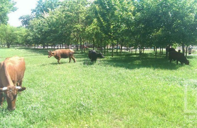 Патрульным пришлось пасти коров на Крымском бульваре (ФОТО)