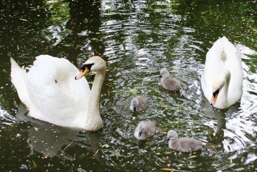 В Одесском зоопарке вылупились птенцы лебедя (ФОТО)