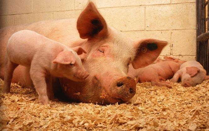 На Одесчине снова бушует африканская чума свиней
