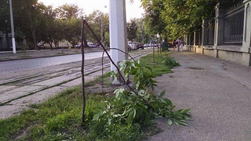 Молодым ясеням на Французском бульваре вандалы не дали вырасти (ФОТО)