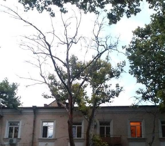 После санитарной обрезки на Пушкинской осталось много сухих деревьев (ФОТО)