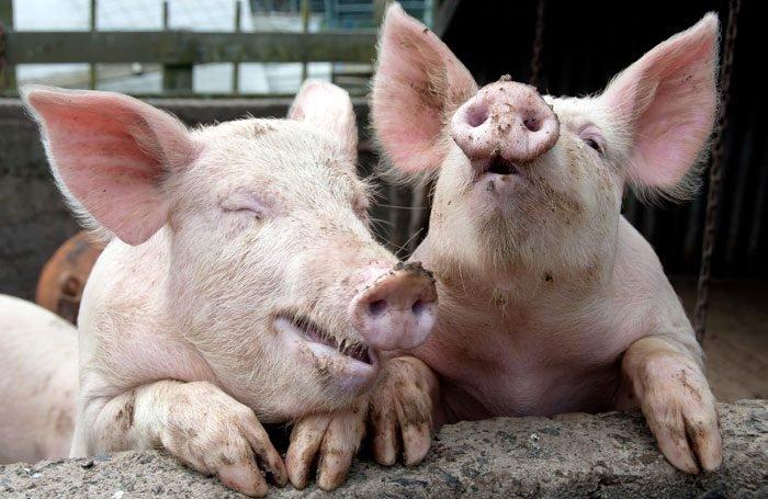 Подорожает ли свинина?
