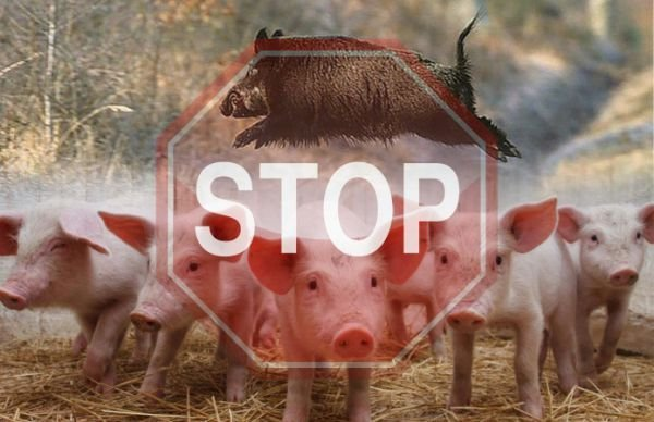 Африканская чума свиней снова в Одесской области