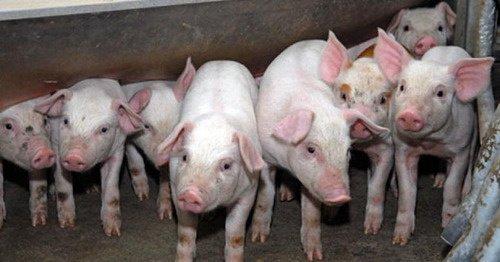 В Одесской области продумывают меры противодействия Африканской чуме свиней