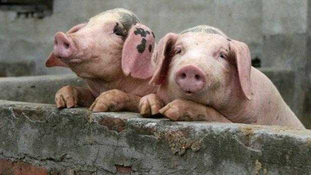 Определенна сумма компенсации за погибших от АЧС животных