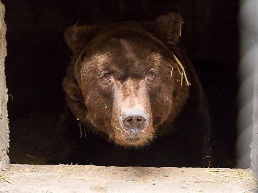 Новоселье у… медведей (ФОТО, ВИДЕО)