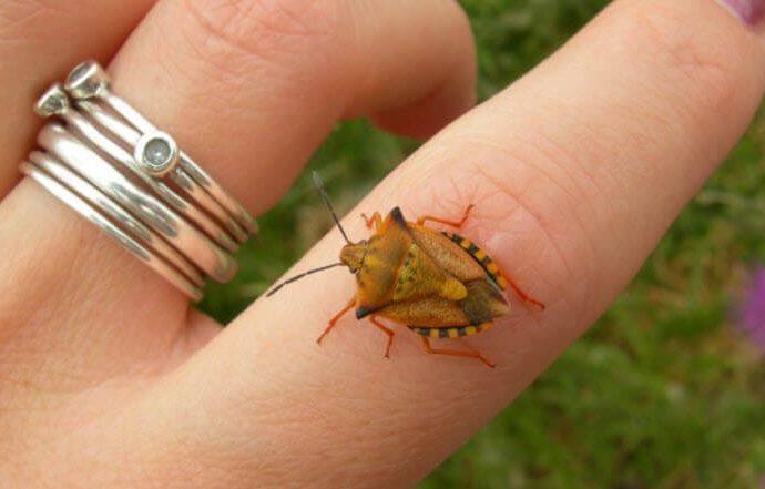 Чем грозит одесситам нашествие «жуков-черепашек»?