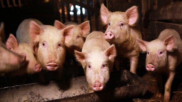 Африканская чума снова подкосила свиней в Одесской области