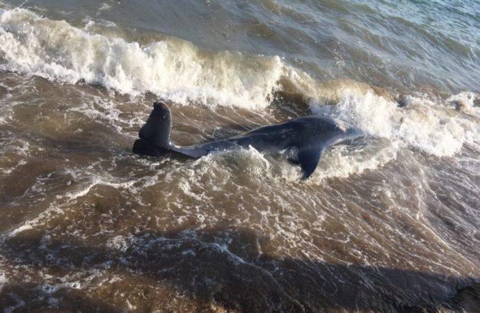 На пляже обнаружили мертвого дельфина (ФОТО)