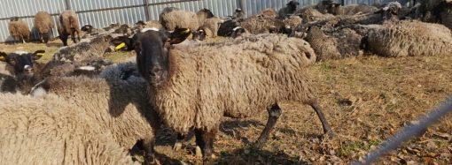 Страдания овец могут стать причиной кадровых решений в профильных службах