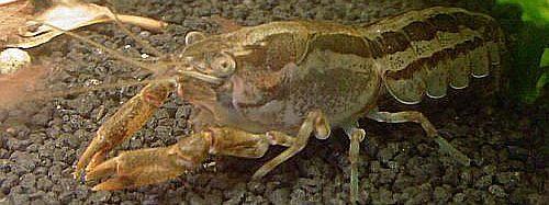 С сегодняшнего дня запрещено ловить раков в Дунае