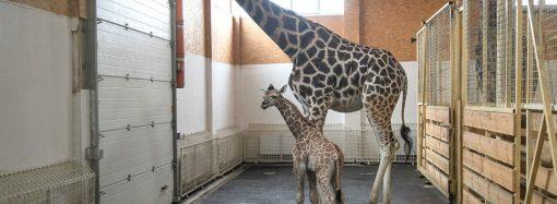 Малыш Арсентий появился у пары жирафов из одесского биопарка