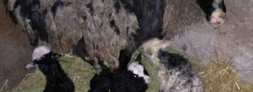 Жизнь продолжается: в семье одесских овец-путешественниц прибавление (ВИДЕО)