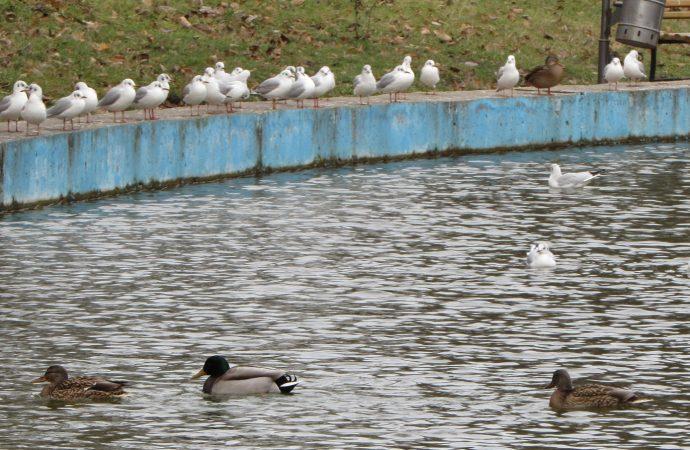 Фантастические утки и где они обитают: как зимуют пернатые в парке Победы