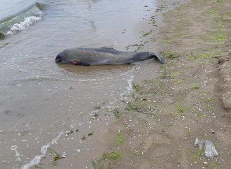 Мертвого дельфина выбросило на одесский пляж