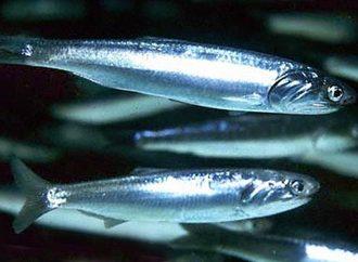 Одесса обеспечена сывороткой от ботулизма, но с употреблением рыбы будьте осторожнее