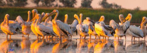 Как под Одессой живут дельфины и розовые пеликаны