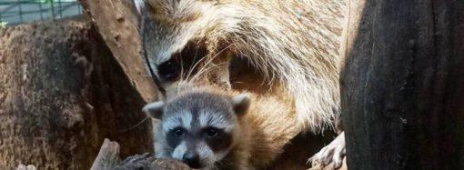 Бебі-бум продовжується: у Одеському зоопарку народилося дитинча єнота