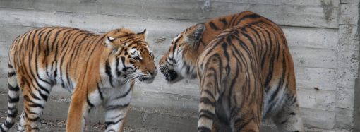 Одеський зоопарк запрошує на «День тигра»