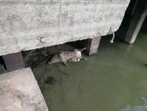 В реке под Одессой нашли зараженные чумой трупы румынских свиней