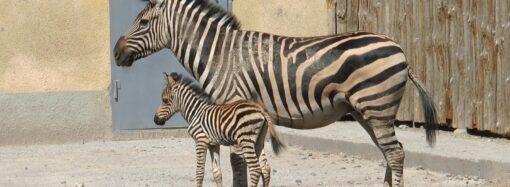 Бебі-бум: в Одеському зоопарку народилося зебреня