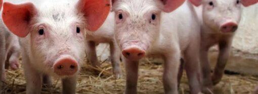 В Одеській області близько 100 свиноферм припинили свою діяльність через спалах АЧС