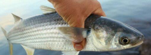 У берегов Одессы запретили ловить азово-черноморскую кефаль