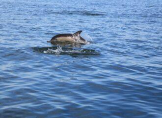 В Одессе засняли, как дельфин играет с рыбой (видео)