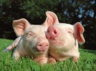 В Одеській області знизилась кількість спалахів Африканської чуми свиней