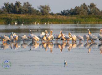 Под Одессой высохли места, где гостили пеликаны