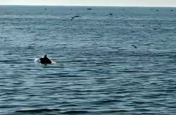 На одесском Фонтане отдыхающие засняли парочку дельфинов (видео)
