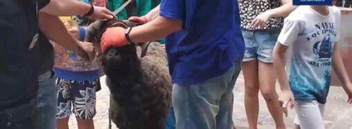 В Одессе нашлись хозяева барана, напугавшего горожан на детской площадке