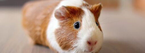 В Одеському зоопарку до Дня народження влаштують перегони морських свинок