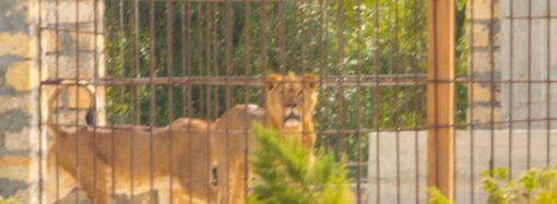 На острове под Одессой поселились африканские львы