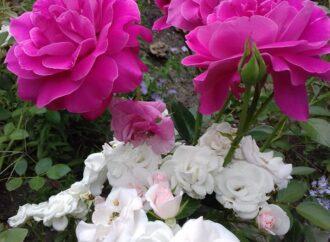 В Одессе в конце сентября зацвели розы