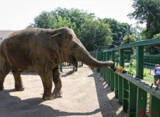 Слониха з Одеського зоопарку відсвяткує 40-річний ювілей