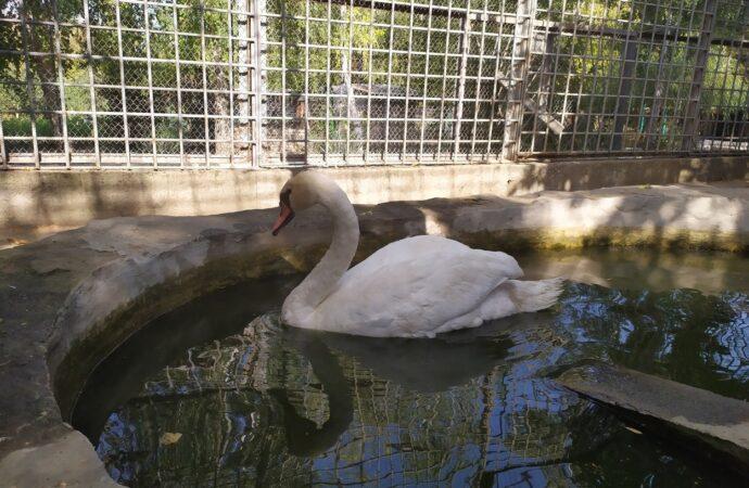 В Одесской области спасли отбившегося от стаи лебедя (фото)