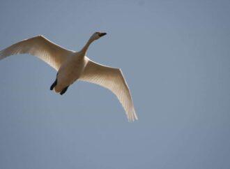У Нацпарку «Тузлівські лимани» помітили рідкісних червонокнижних лебедів — фото
