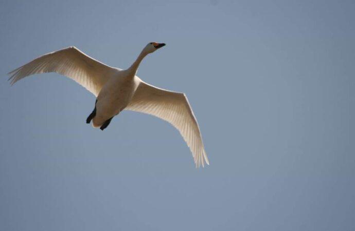 """У Нацпарку """"Тузлівські лимани"""" помітили рідкісних червонокнижних лебедів – фото"""