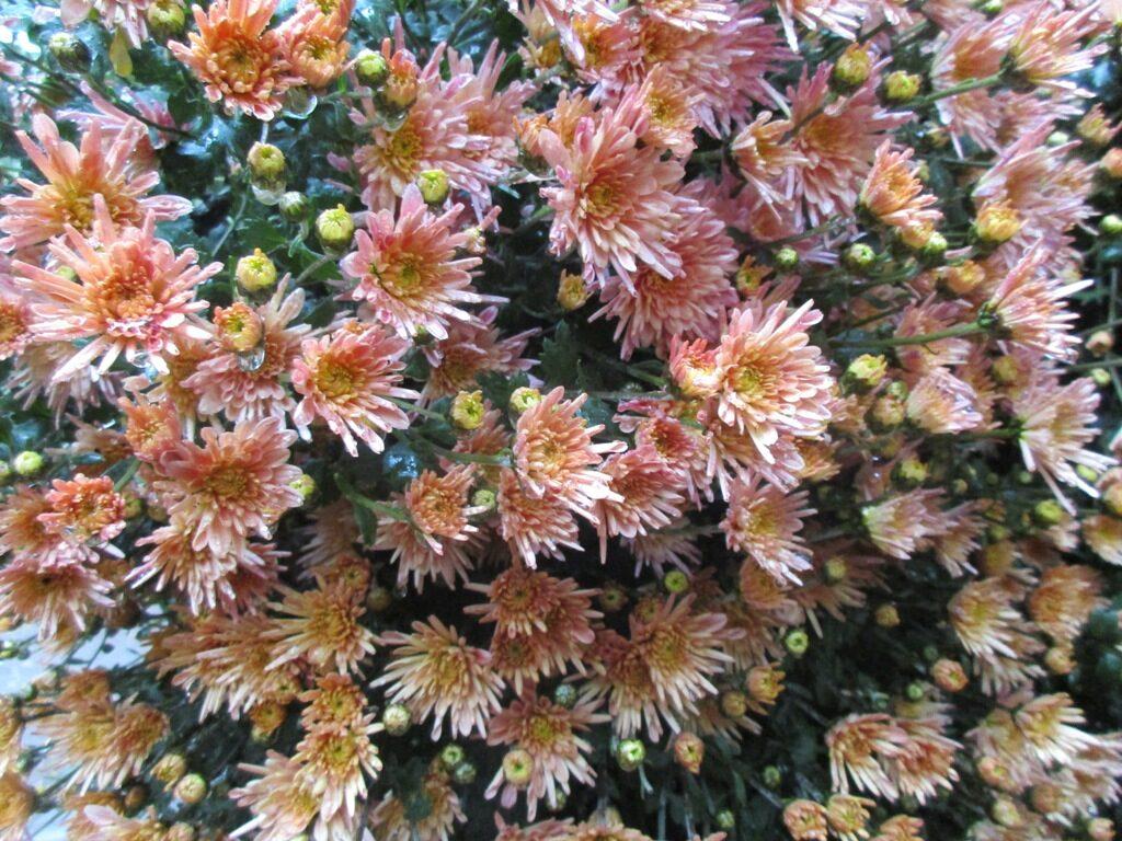 Хризантему считают цветком долгожителей и символом благополучия