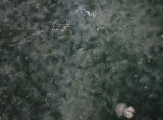 Ушастые и с ротовыми лопастями: в одесский порт приплыли тысячи медуз (фото)
