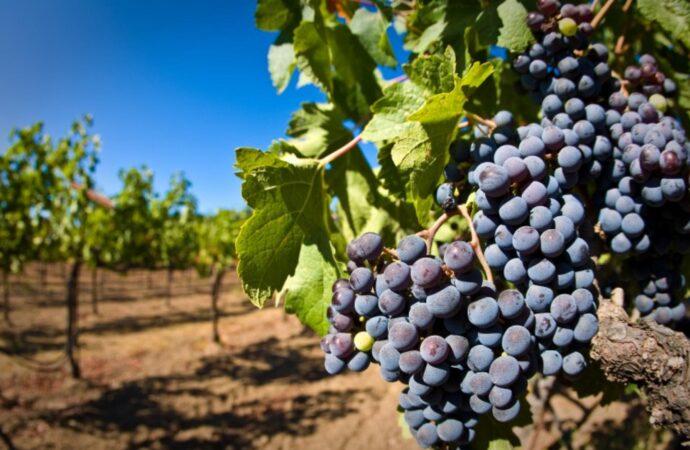 «Потеряли рынки сбыта»: в Одессе уничтожили около 500 гектаров виноградников