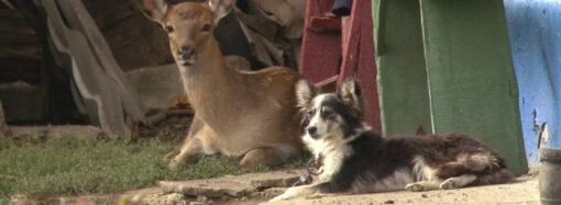 В Одесской области семья приютила олененка и кормит его виноградом (видео)