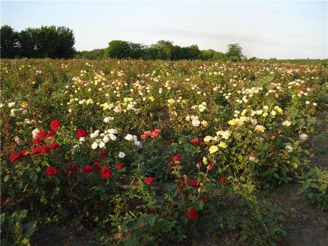 «Долина роз»