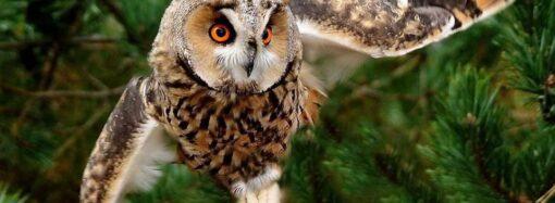 Защитим ушастых сов Придунавья: в Одесской области будут оберегать хищных птиц